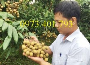 Chuyên cung cấp cây giống nhãn miền Hà Tây giá rẻ
