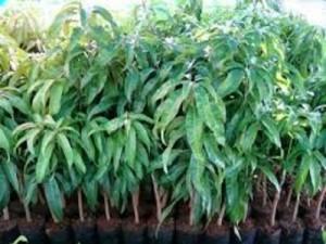 Bán cây giống xoài đài loan, số lượng lớn, giao cây toàn quốc.