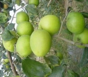 Cây giống táo Thái Lan, số lượng lớn, giao cây toàn quốc.