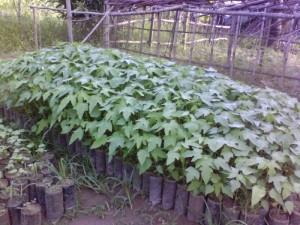 Cây giống, hạt giống đu đủ lùn cao sản Thái Lan, số lượng lớn, giao cây toàn quốc.