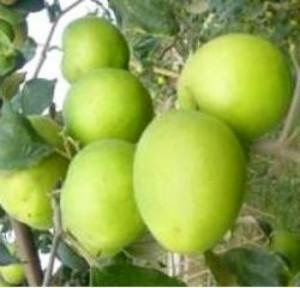 Cây giống táo đại, số lượng lớn, giao cây toàn quốc.