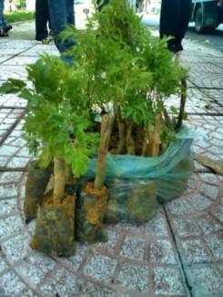 Chuyên cung cấp các giống  Đinh Lăng ,Ba Kích