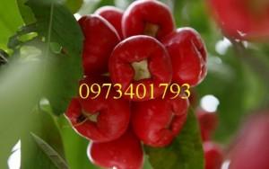 Giống cây Roi đỏ