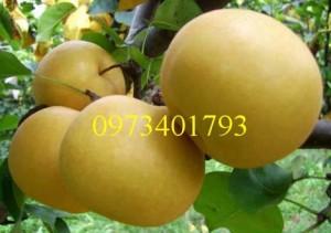Giống cây Lê nâu (Mắc Cọp) giá rẻ