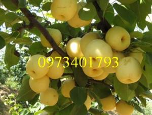 Giống cây  lê vàng nhập khẩu Đài Loan, cây lê vàng, kĩ thuật trồng lê vàng, cây lê, lê vàng