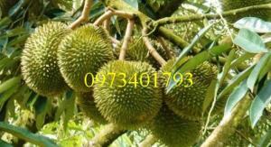 Giống cây Sầu riêng