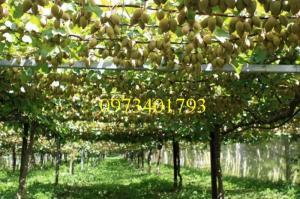 Giống cây kiwi, kiwi,cây kiwi, kĩ thuật trồng kiwi