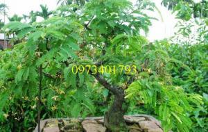 Cây giống me thái, me thái, cây me thái, cây me, kĩ thuật trồng cây me thái