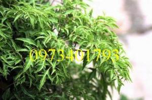 Cung câp cây Giống  Đinh lăng uy tín, chất lượng