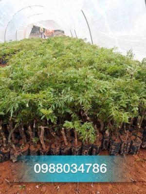 Chuyên cung cấp giống cây đinh lăng nếp ,ba kích chất lượng cao