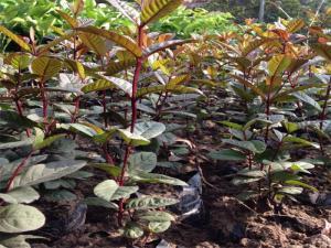 Cây giống ổi tím Malaysia, số lượng lớn, giao cây toàn quốc