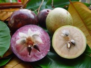 Cây giống ổi tím Malaysia, số lượng lớn, giao cây toàn quốc.