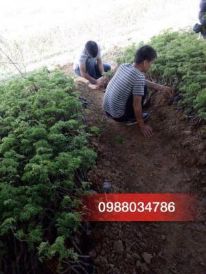 Chuyên cung cấp các giống  Đinh Lăng ,Ba Kích chất lượng cao