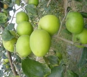Cây giống táo thái lan, táo đài loan, táo đại, táo đào vàng, số lượng lớn.