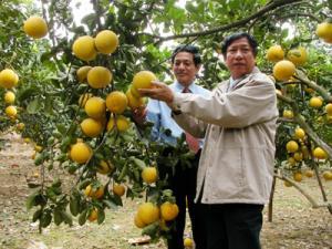 Chuyên cung cấp cây giống bưởi diễn, cam kết chuẩn giống, số lượng lớn.