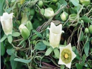 Chuyên cung cấp cây giống đẳng sâm, số lượng lớn, giao cây toàn quốc