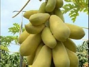 Chuyên hạt giống đu đủ da vàng, cây giống đu đủ vỏ vàng, giống đu đủ vàng lùn nhập khẩu