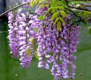 Chuyên cung cấp giống cây hoa tử đằng tím chuẩn, cây giống hoa tử đằng đẹp, hoa tử đằng