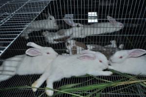 Thỏ newzealand lai