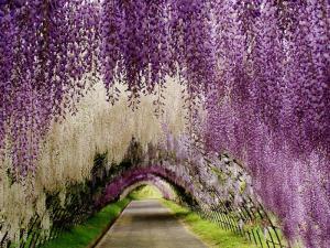 Cây giống hoa tử đằng, hoa tử đằng nhật bản, số lượng lớn, giao cây toàn quốc.