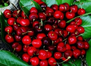 Cây giống cherry brazin, cherry anh đào, số lượng lớn, giao cây toàn quốc.