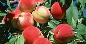 Cây giống đào quả đỏ, đào quả vàng, số lượng lớn, giao cây toàn quốc.