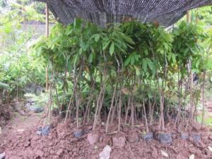 Cây giống nhãn muộn, nhãn miền thiết, số lượng lớn, giao cây toàn quốc 3