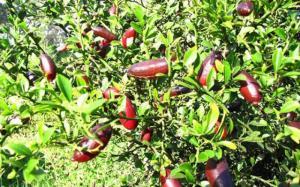 Cây giống chanh ngón tay nhập khẩu, số lượng lớn, giao cây toàn quốc.
