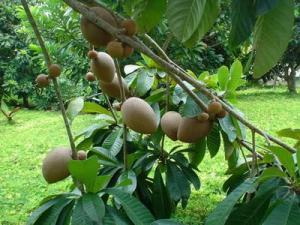 Chuyên cung cấp cây giống hồng xiêm xoài, hồng xiêm xuân đỉnh, cam kết chuẩn giống