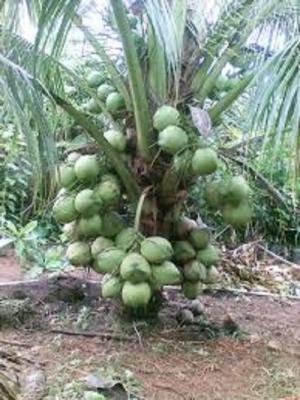 Chuyên cung cấp cây giống dừa xiêm lùn, dừa xiêm dây, dừa lửa, số lượng lớn.