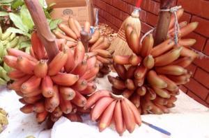 Chuyên cung cấp giống chuối đỏ Đacca nuôi cấy mô, số lượng lớn.