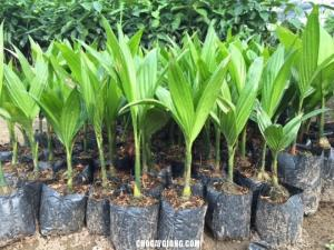 Chuyên cung cấp cây giống cau tứ quý, cau tứ thời, cau lùn, giao cây toàn quốc.
