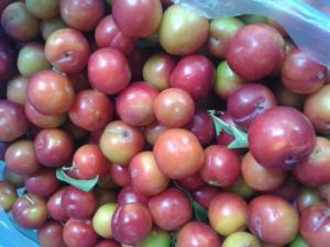 Chuyên cung cấp cây giống mận tam hoa, mận hậu, chuẩn giống, số lượng lớn, giao cây toàn quốc.