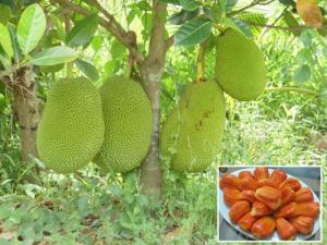 Chuyên cung cấp cây giống mít ruột đỏ, giống cây mít ruột đỏ, số lượng lớn.