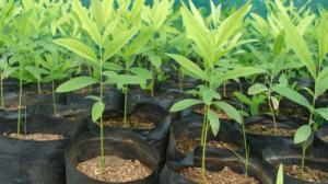 Bán giống cây đàn hương uy tín chất lượng đảm bảo 100% với giá rẻ nhất thị trường vườn ươm