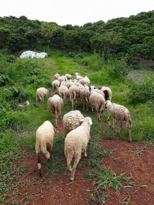 Bán cỏ, dê, cừu