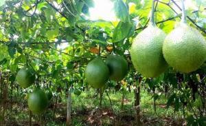 Chuyên cung cấp cây giống gấc nếp, gấc nếp cao sản, số lượng lớn.