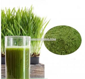 Bột cỏ lúa mì mua ở đâu Cách sử dụng bột cỏ lúa mì