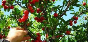 Chuyên cung cấp cây giống sơri, giống cây sơri, số lượng lớn, giao cây toàn quốc.
