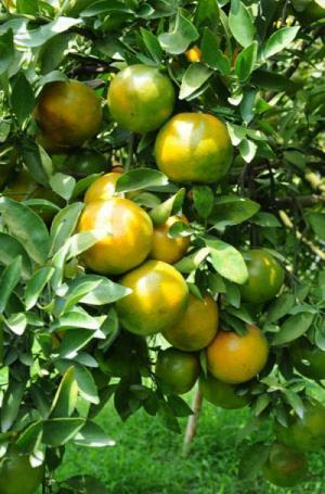 Chuyên cung cấp cây giống quýt đường Thái Lan, giống cây quýt đường, số lượng lớn, giao cây toàn quốc. LH 0978073003