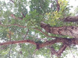 Hạt giống cây nhội ( lội)