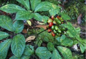 Chuyên cung cấp cây giống sâm ngọc linh, giống cây sâm ngọc linh, số lượng lớn, giao cây toàn quốc