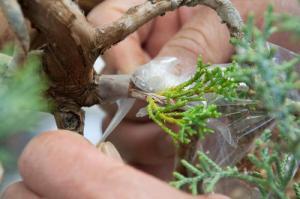 Băng keo tự phân hùy từ Nhật Bản cho cây chiết cành