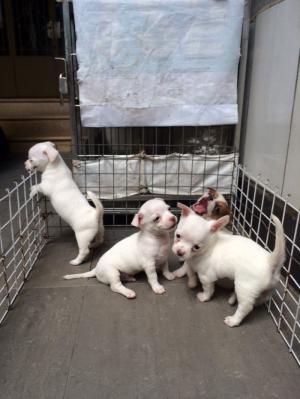 Chó Chihuahua, Chihuahua Đức siêu Kute
