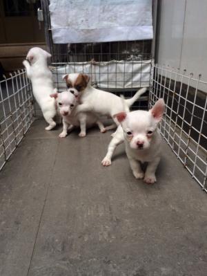 Chihuahua 50 ngày, khoẻ mạnh và lanh lợi
