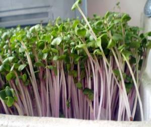 Hạt giống mầm cải đỏ