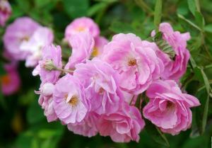 Hạt Giống Hoa Hồng Tầm Xuân Leo