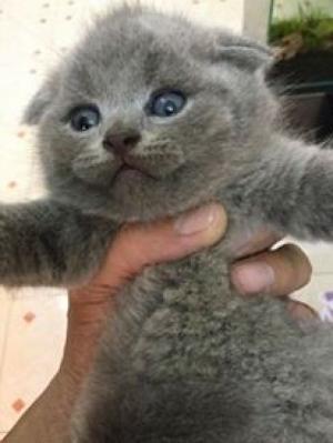 Bán và phối giống Mèo Anh Lông Ngắn, Tai Siêu Cụp, Mèo Chân Ngắn thuần chủng