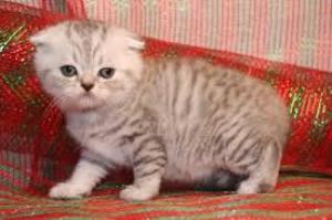 HCM Tìm chủ cho đàn Mèo ALN và Tai Cụp 2 tháng