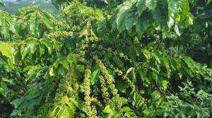 Bán 20000m2 vườn cafe thu chính QL27 Hoài Đức - Lâm Hà - Lâm Đồng